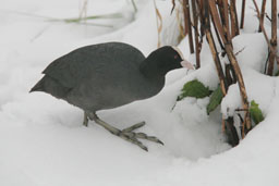 img_7077-coot-looking-for-food-in-snow.jpg